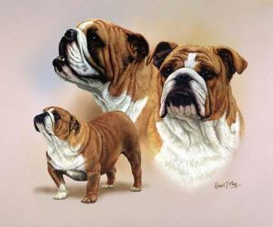 Signed Bulldog Multistudy Print MS1006